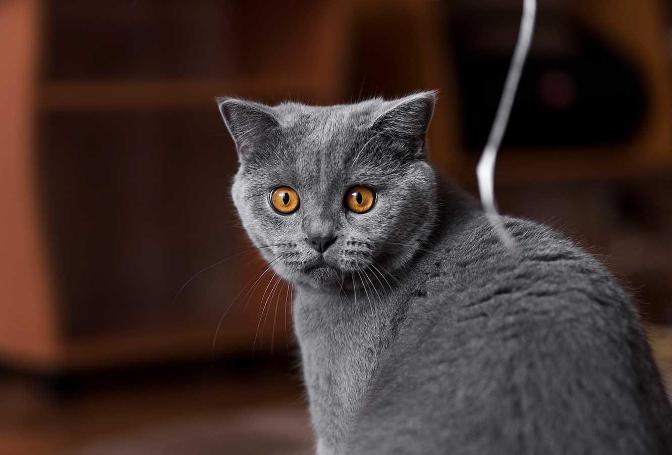 características do British Shorthair